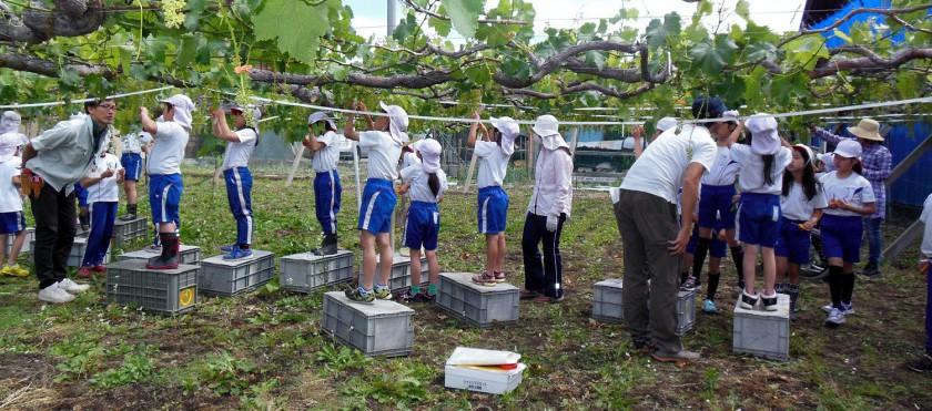 小学校での課外活動(ぶどうの栽培)の様子
